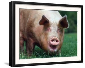 Domestic Pig, Europe by Reinhard