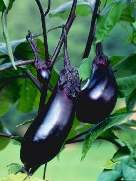 Eggplants / Aubergines (Solanum Melongena) by Reinhard