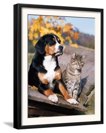 Entlebuch Mountain Dog and Domestic Cat