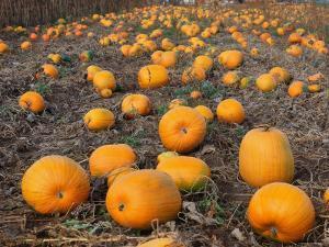 Field of Ripe Pumpkins (Cucurbita Maxima) USA by Reinhard
