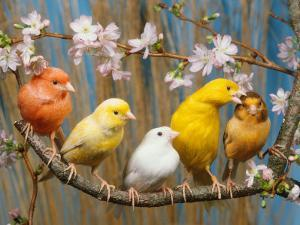 Five Canaries of Different Colours by Reinhard