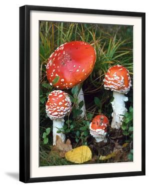 Fly Agaric Toadstools (Amanita Muscaria) Europe by Reinhard