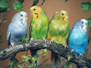 Four Budgerigars (Melopsittacus Undulatus) by Reinhard