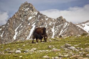 Yak - near Kailash by Reinhard Goldmann