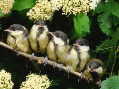Great Tits, Five Fledgelings Perched in Row (Parus Major) Europe