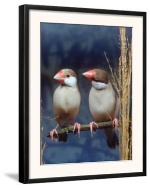 Java Sparrows, Cream (Padda Oryzivora) by Reinhard
