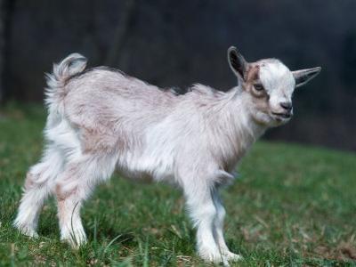 Pygmy Domestic Goat Kid