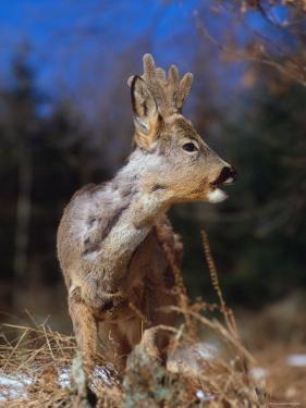 Roe Deer with Velvet Antlers (Capreolus Capreolus) Europe by Reinhard