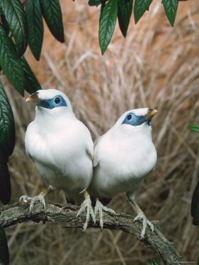 Rothschild's / Bali Mynah Birds (Leucopsar Rothschildi) by Reinhard