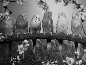 Six Budgerigars (Melopsittacus Undulatus) by Reinhard