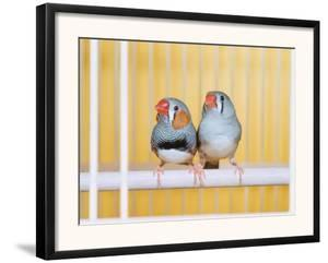 Spotted Sided Zebra Finches, Pair in Cage (Poephila / Taeniopygia Guttata) by Reinhard