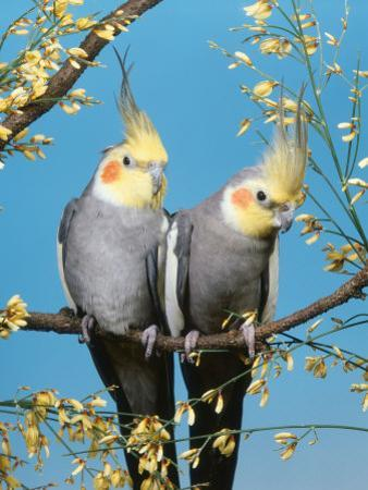 Two Cockatiels, Males (Nymphicus Hollandicus) Australia by Reinhard