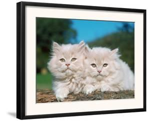 Two Persian Cats, Kittens (Felis Catus) by Reinhard