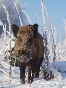 Wild Boar in Winter (Sus Scrofa), Europe by Reinhard