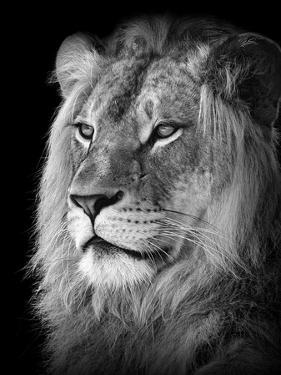 Portrait Of A Lion In Black And White by Reinhold Leitner