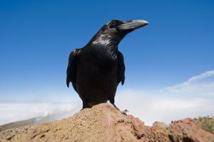 Common Raven (Corvus Corax) Perched on Rock, La Caldera De Taburiente Np, La Palma, Canary Islands by Relanzón