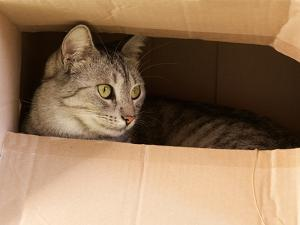 Cat Hiding in Paper Box, Curious Kitten in the Box. A Cat Plays Hide and Seek in a Cardboard Box. A by Renata Apanaviciene