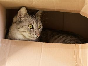 Cat Hiding in Paper Box, Curious Kitten in the Box. A Cat Plays Hide and Seek in a Cardboard Box. A by Renata Apanaviciene