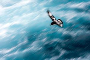 Cape Petrel - Pintado Petrel in Flight South Georgia by Renato Granieri