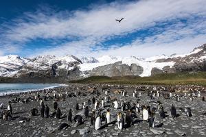 Colony of King Penguins (Aptenodytes Patagonicus) Gold Harbour South Georgia by Renato Granieri