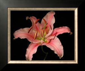 Dream Lilies III by Renee W. Stramel