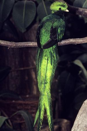 https://imgc.allpostersimages.com/img/posters/resplendent-quetzal_u-L-Q106H8F0.jpg?p=0