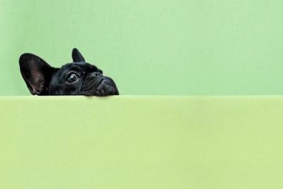 French Bulldog Puppy by retales botijero