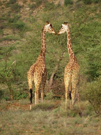 https://imgc.allpostersimages.com/img/posters/reticulated-giraffe-samburu-national-reserve-kenya-east-africa-africa_u-L-P7O1SW0.jpg?p=0