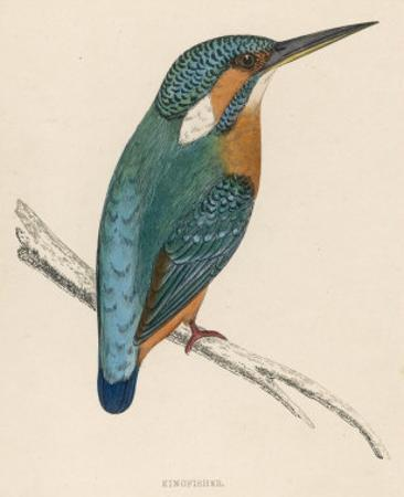 Kingfisher Sitting on a Thin Branch