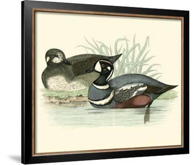 Morris Ducks IV