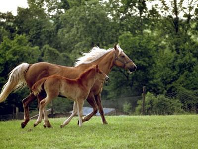 Mare Runs with Her Foal Through a Pasture by Rex Stucky