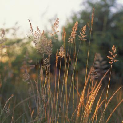 Orchard Grass, Washington by Reynolds Trish