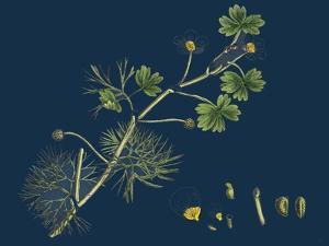 Rhamnus Frangula; Berry-Bearing Alder