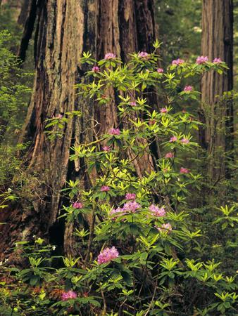 https://imgc.allpostersimages.com/img/posters/rhododendrons-blooming-in-groves-redwood-np-california-usa_u-L-PN6R3Y0.jpg?p=0