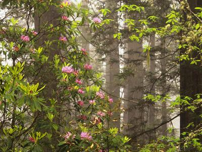 https://imgc.allpostersimages.com/img/posters/rhododendrons-blooming-in-groves-redwood-np-california-usa_u-L-PN6SUM0.jpg?p=0