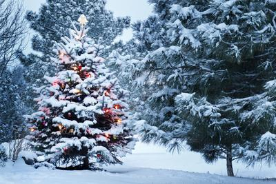 This Snow Covered Christmas Tree Stands out Brightly against the Dark Blue Tones of this Snow Cover