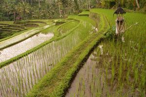 Rice Field, Near the Town of Bangli. Ubud. Bali