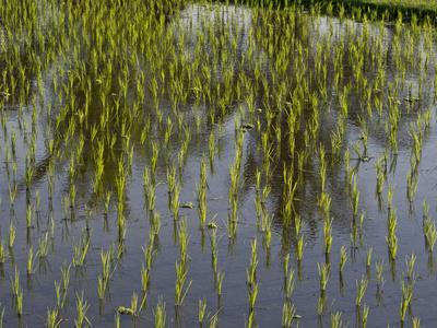 https://imgc.allpostersimages.com/img/posters/rice-paddy-fields-in-the-highlands-in-bali-indonesia-southeast-asia_u-L-PWFK090.jpg?artPerspective=n