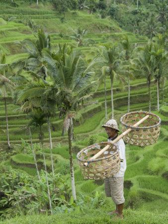 https://imgc.allpostersimages.com/img/posters/rice-terraces-near-tegallalang-village-bali-indonesia-southeast-asia-asia_u-L-P91IEN0.jpg?p=0