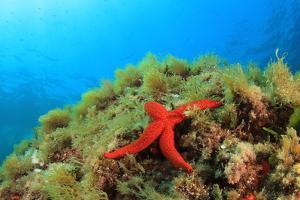 Starfish Underwater on Reef by Rich Carey