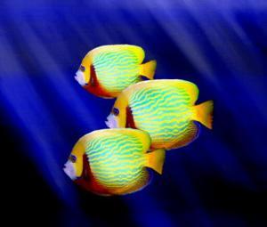 Angelfish Underwater by Rich LaPenna