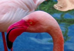 Headsup of Flamingo Bird by Rich LaPenna