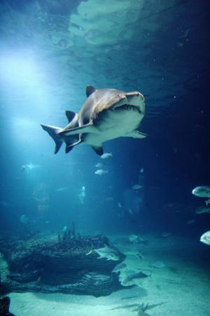 Underwater View of Shark and Tropical Fish by Rich Lewis