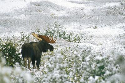 A Bull Moose on a Snow Covered Hillside by Rich Reid