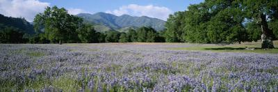 A Meadow Filled with Blooming Lupines, Bordered by Oaks and Mountains