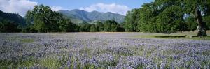 A Meadow Filled with Blooming Lupines, Bordered by Oaks and Mountains by Rich Reid