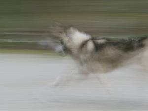 A Panned View of a Sled Dog Running by Rich Reid