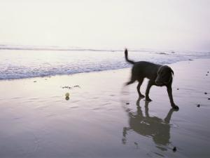 A Pet Dog Plays with a Ball on a Gentle Beach by Rich Reid