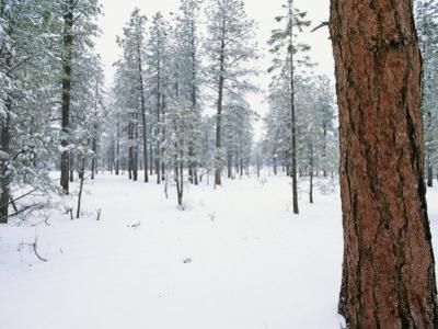 A View of a Snow-Covered Ponderosa Pine Forest by Rich Reid