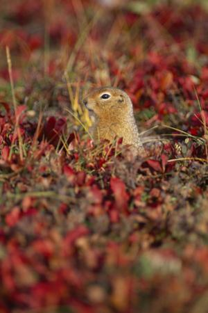 An Arctic Ground Squirrel, Spermophilus Parryii, in the Fall by Rich Reid